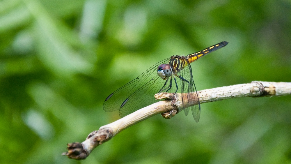 Dragonfly photo by Artemis Realm Photography.
